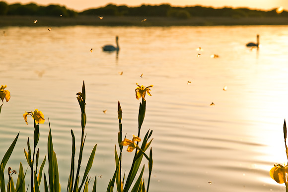 Flowers, swans and mayflies at Kenfig