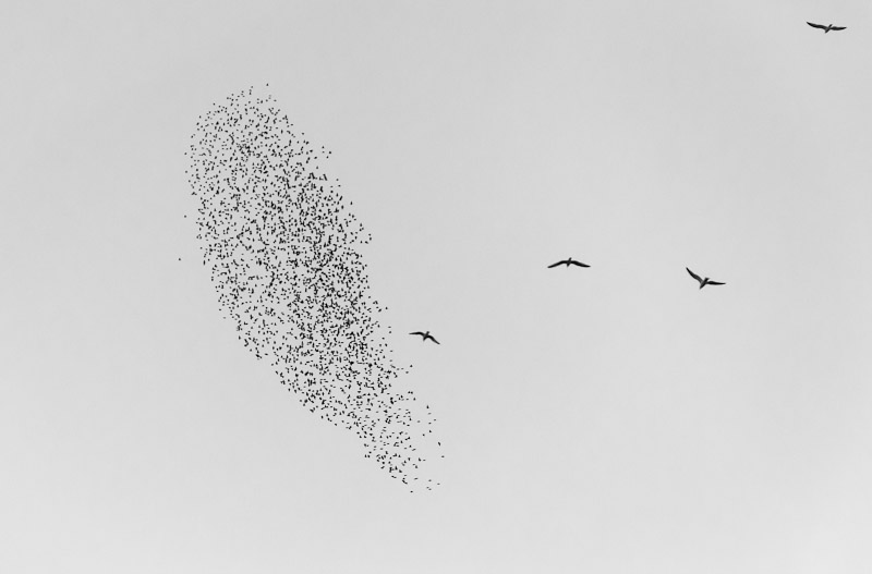 Starlings and gulls